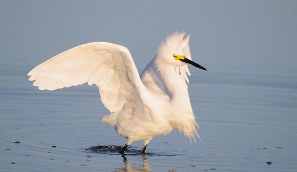Snowy Egret displaying aggressive behavior