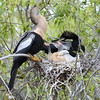 Anhinga parents with two baby chicks