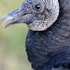 Black Vulture in Everglades National Park