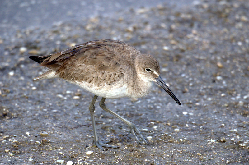 Least Sandpiper - smallest of the Sandpipers