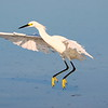 Snowy Egret Coming in for Landing