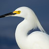 Snowy Egret in Profile