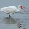 American White Ibis with Shrimp