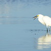 Snowing Egret with Shrimp
