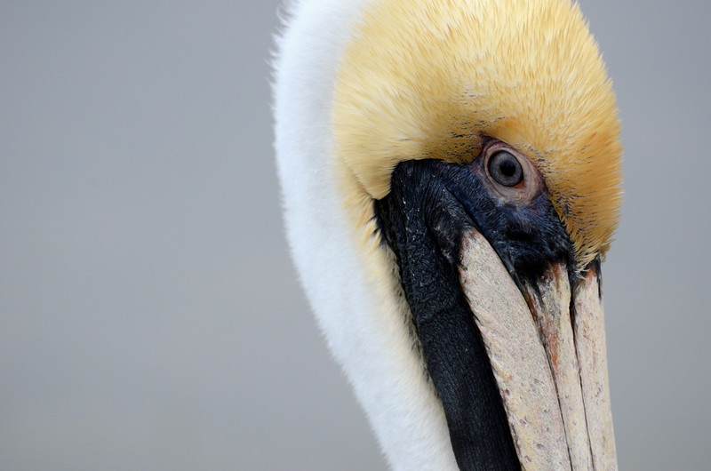 Face of the Brown Pelican