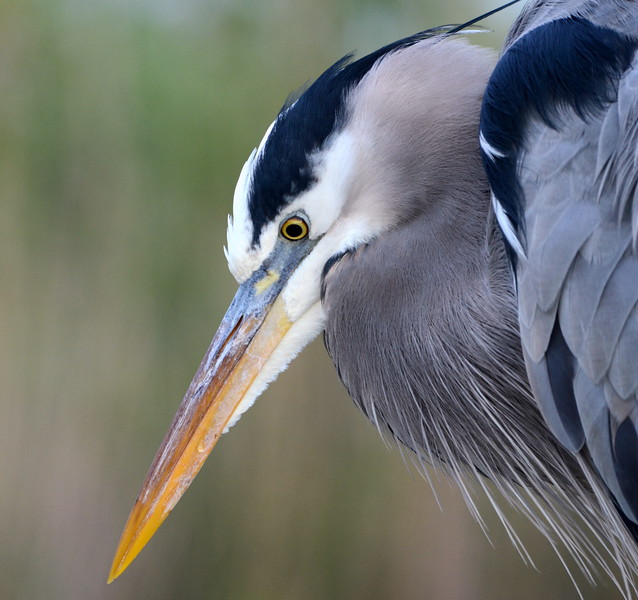 Great Blue Heron Looking for Next Meal