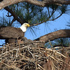 Southern Bald Eagle with Chick