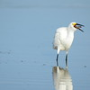 Snowy Egret Swallowing Shrimp