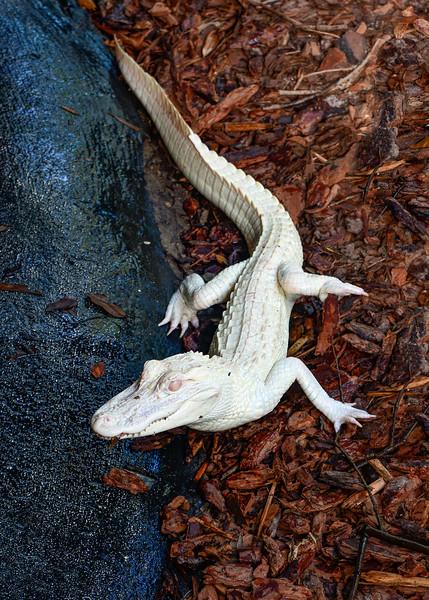 AlbinoAmericanAlligator-StAugGatorFarm-FL-8-13-19-SJS-001