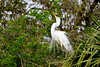 A great white egret in a sky pointing courting ritual at the Alligator Farm rookery in St. Augustine, Florida, USA.