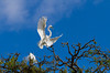 A great white egret in flight at the Alligator Farm rookery in St. Augustine, Florida, USA.