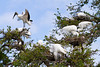 Nesting egrets and woodstorks at the Alligator Farm rookery in St. Augustine, Florida, USA.