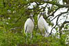 A nesting pair of wood storks at the Alligator Farm rookery in St. Augustine, Florida, USA.