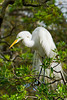A great egret in breeding plumage at the Alligator Farm rookery in St. Augustine, Florida, USA.