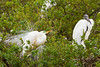 A great white egret in breeding plumage and a woodstork at the Alligator Farm rookery in St. Augustine, Florida, USA.