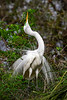 A great white egret in a sky-pointing courtship ritual at the Alligator Farm rookery in St. Augustine, Florida, USA.