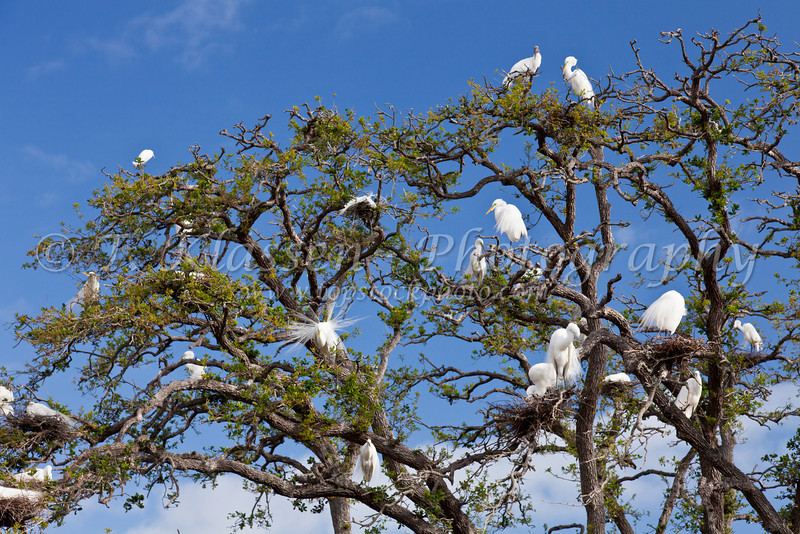Trees with breeding egrets and wood storks at the Alligator Farm rookery in St. Augustine, Florida, USA.