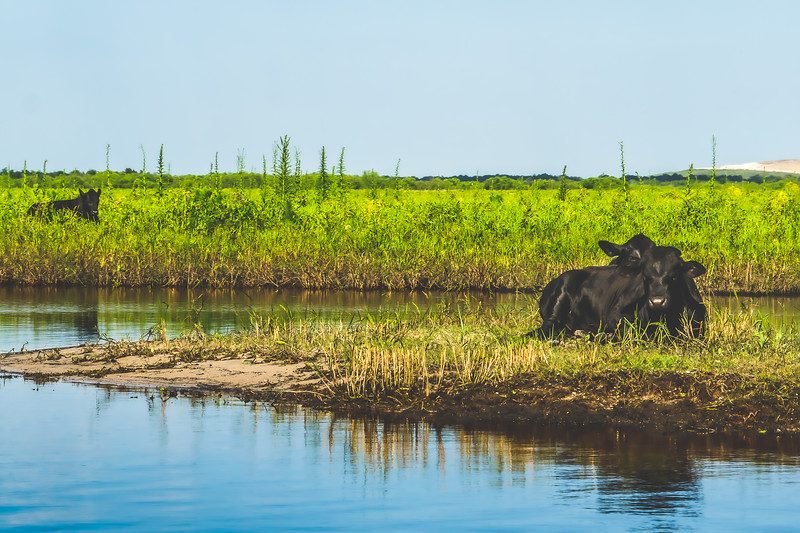 Cows along the St. Johns River in Brevard County Florida
