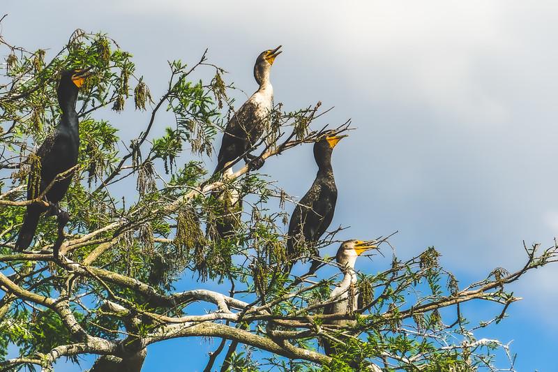 Cormorants along the St. Johns River in Brevard County Florida