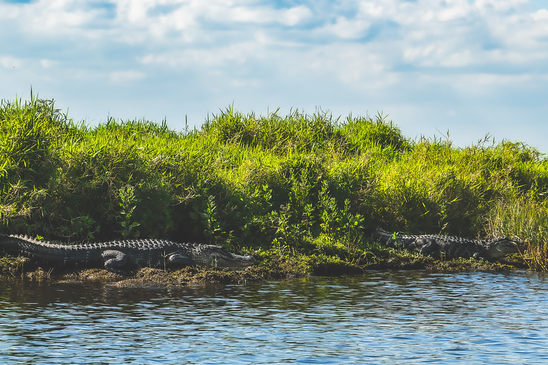 Crocodiles along the St. Johns River in Brevard County Florida