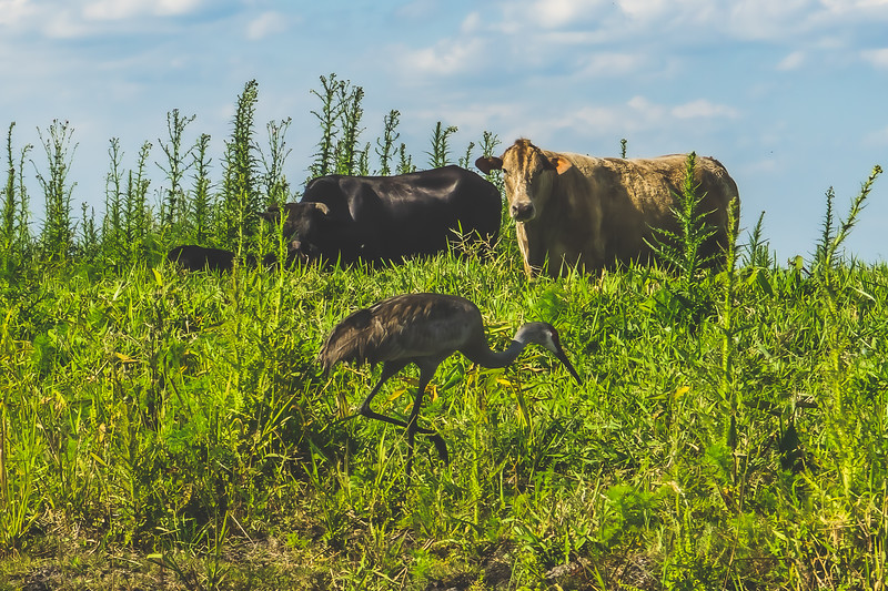 Egret and Cows along the St. Johns River in Brevard County Florida