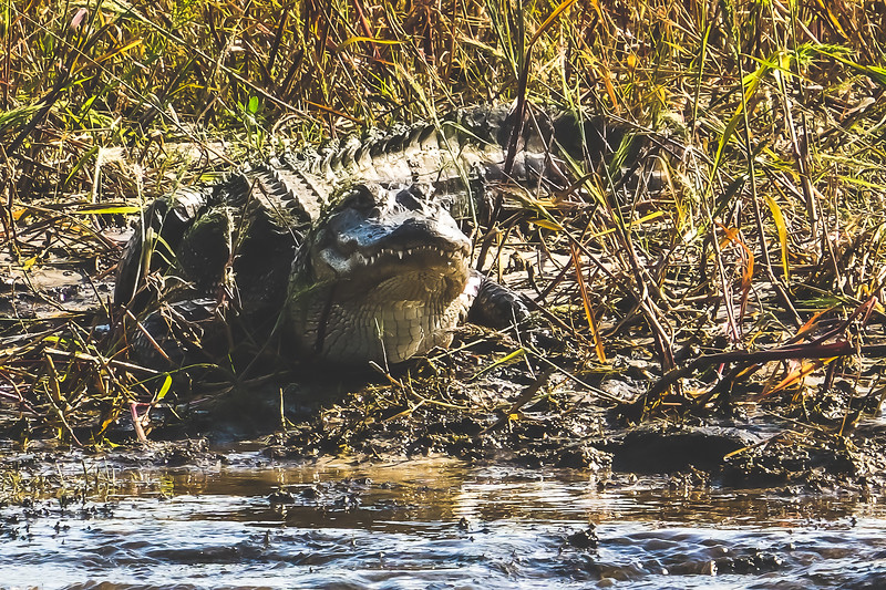 Crocodile along the St. Johns River in Brevard County Florida