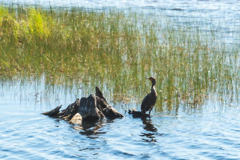 Cormorant at St. Marks National Wildlife Refuge in St. Marks Florida