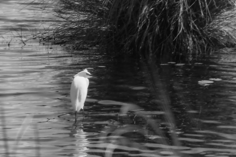 Egret at St. Marks National Wildlife Refuge in St. Marks Florida