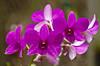 Deep pink orchids at a nursery in the Florida Keys, USA.