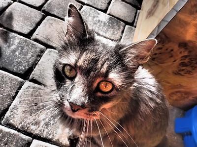 The Stray Gray Cat