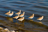 A group of sandpipers on the shore at Fort Desoto Park, Florida, USA.