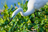 Closeup of the great white egret fishing at the Audubon bird rookery in Venice, Florida, USA.