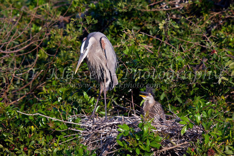 A Great Blue Heron at the nest with young at the Audubon Rookery in Venice, Florida, USA.