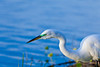 Closeup of the great white egret at the Audubon bird rookery in Venice, Florida, USA.