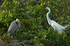 A Great White Egret and a Great Blue Heron at the Audubon Rookery in Venice, Florida, USA.