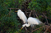 A pair of Great White Egrets nest building at the Audubon Rookery in Venice, Florida, USA.