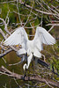 A pair of great white egrets mating at the Audubon bird rookery in Venice, Florida, USA.