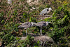 A great blue heron and young at the nest at the Audubon bird rookery in Venice, Florida, USA.