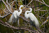 A pair of great white egrets courting at the Audubon bird rookery in Venice, Florida, USA.