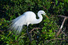 The Great White Egret in breeding plummage at the Audubon Rookery in Venice, Florida, USA.