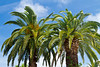 Palm trees on the boulevard in Venice, Florida, USA.