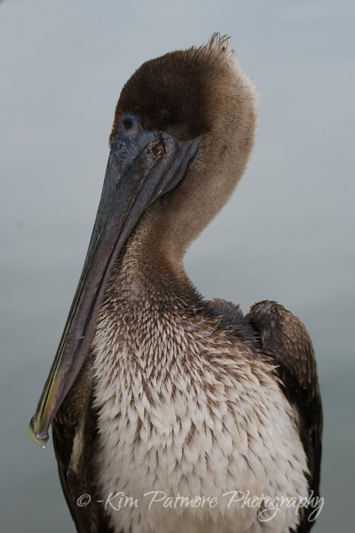 Juvenile Brown Pelican
