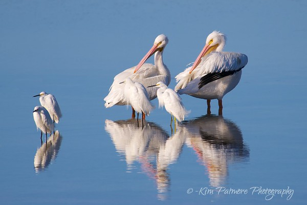 Snowy Egrets and White Pelicans Reflections