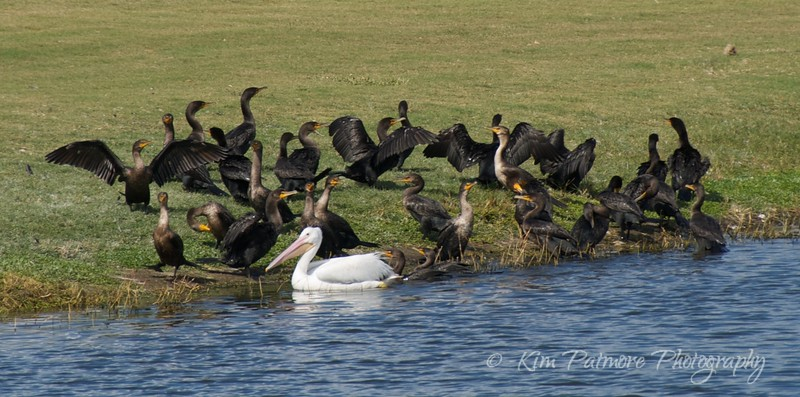 Cormorants and White Pelican