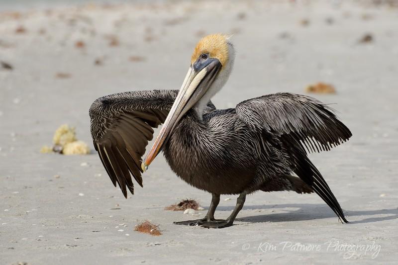 Brown Pelican Posing