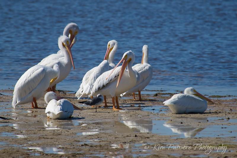 White Pelican Talking