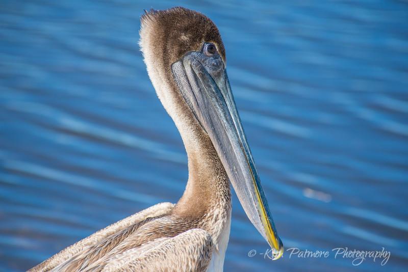1 Brown Pelican-7765