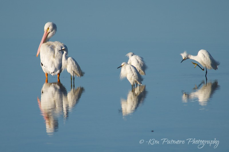 White Pelican and Snowy Egret Evening Reflections