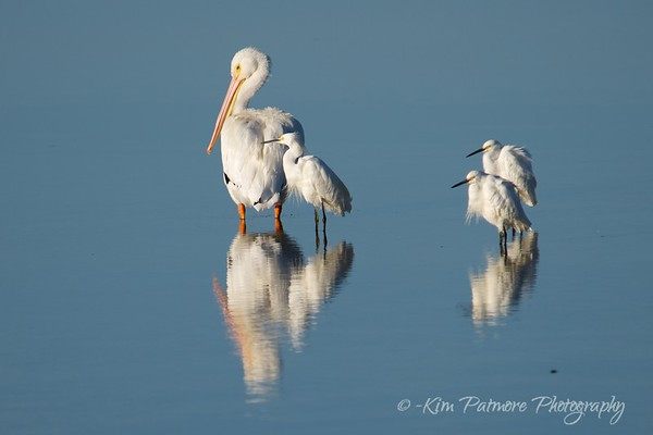 White Pelican and Snowy Egret Reflections