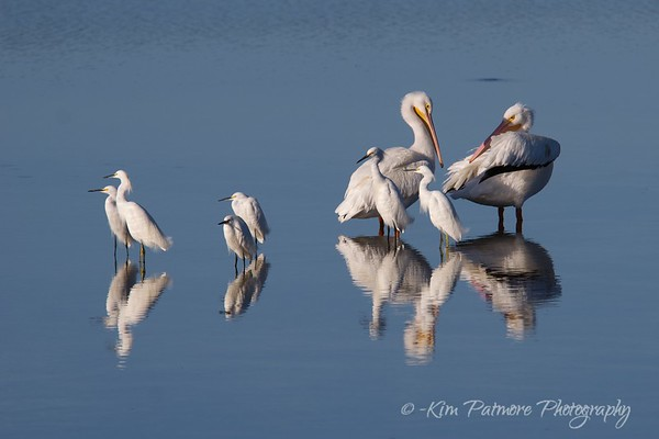 Snowy Egrets and White Pelicans - Ding Darling Refuge